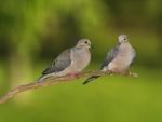 Un par de palomas en una rama