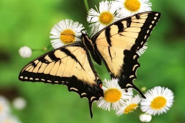 Gran mariposa sobre unas margaritas blancas