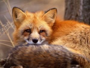 Postal: Un zorro rojo descansando