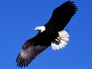 Postal: Águila volando en libertad