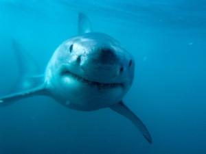 Postal: Gran tiburón bajo el mar