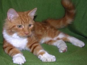 Gatito con las patas blancas
