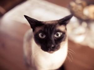 Postal: La mirada de un gato siamés