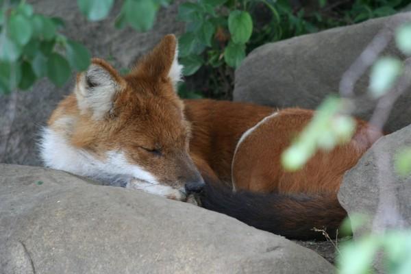 Un zorro dormido entre las piedras