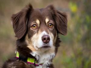 Postal: Un bonito perro marrón con el hocico blanco