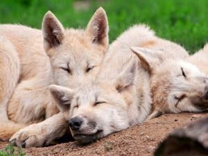 Postal: Manada de lobos dormidos