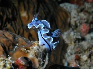Un bonito nudibranquio de color azul