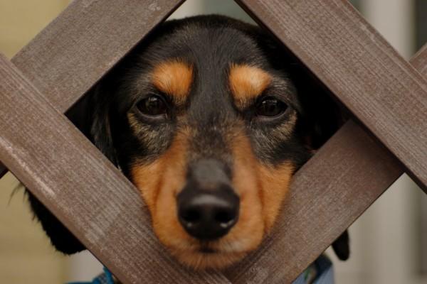 Un perro sacando la cabeza por la valla