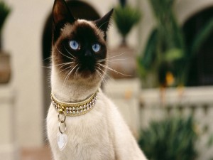 Postal: Una gata siamesa