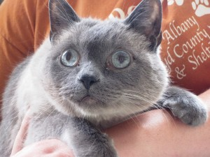 Postal: Bonito gato gris