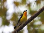 Un bonito pájaro con el pecho amarillo y naranja