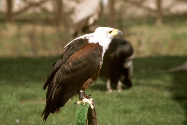Águila en cautividad