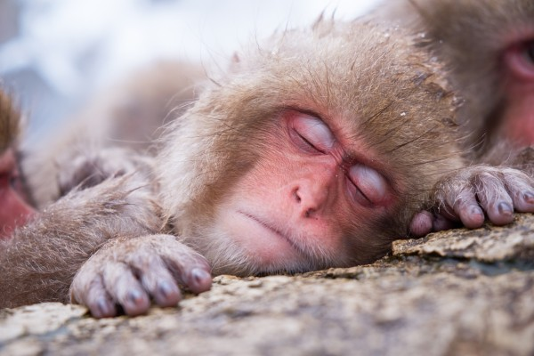 Macaco japonés dormido
