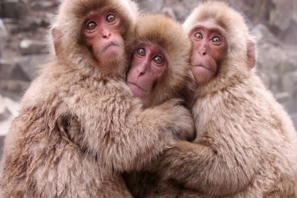 Tres jóvenes macacos abrazados
