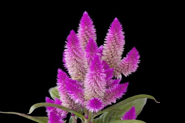 Celosia argentea con flores color lila