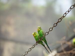 Postal: Dos periquitos posados sobre una cadena