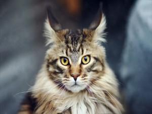 Un precioso gato con mucho pelo