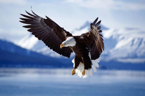 Gran águila calva mostrando las alas
