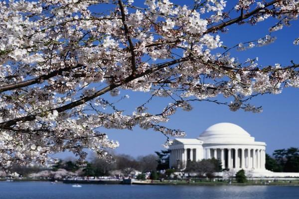 Cerezo en flor y vistas del monumento a Thomas Jefferson (Washington D. C.)
