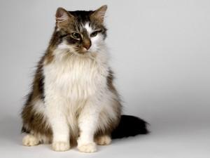 Un gato con el pelaje de dos colores