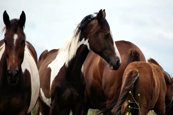Manada de caballos marrones
