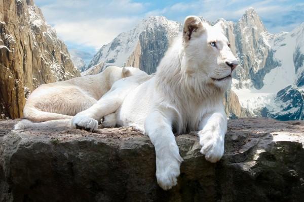 Dos leones blancos descansando sobre una roca