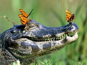 Postal: Mariposas posadas en la cabeza de un cocodrilo