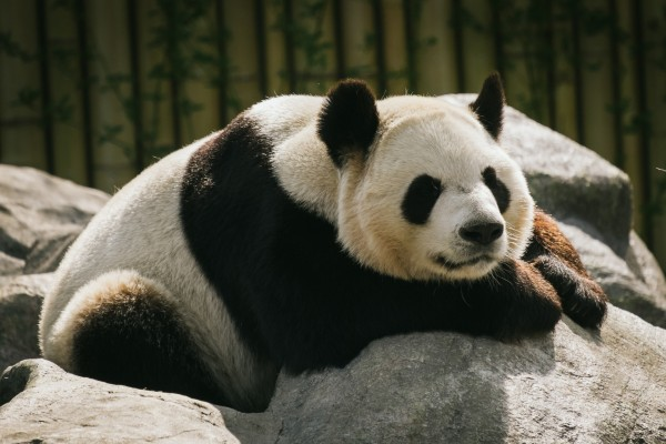 Gran oso panda sobre unas rocas