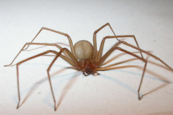 Araña de grandes patas