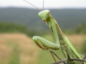 Una gran mantis religiosa