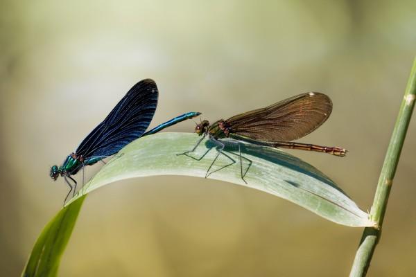 Dos libélulas de diferente color