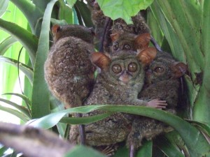 Tarseros fantasma (Tarsius tarsier)