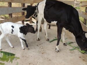 Un ternerito junto a dos vacas