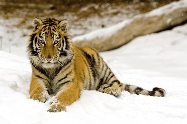 Un joven tigre en la nieve
