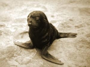 Postal: Pequeño león marino