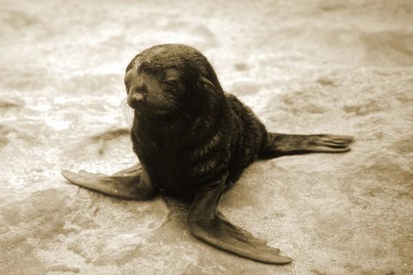 Pequeño león marino