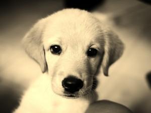 Un bonito perro blanco de ojos negros