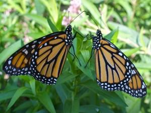 Macho y hembra de mariposa monarca sobre una planta