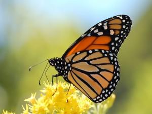 Mariposa monarca sobre pequeñas flores amarillas