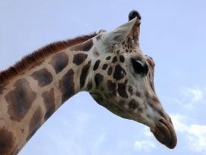 La cabeza de una jirafa
