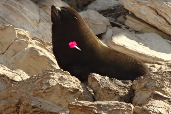 León marino con un dardo clavado