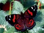 Una mariposa con alas negras y rojas