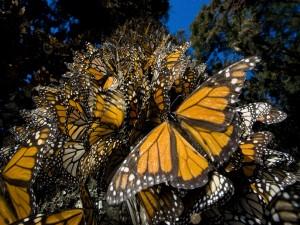 El tronco de un árbol cubierto de mariposas monarca