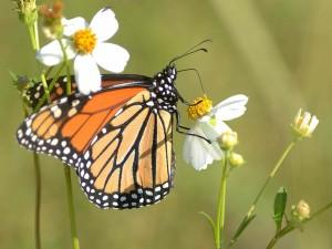 Mariposa monarca libando en el centro amarillo de una flor