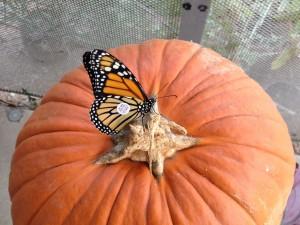 Mariposa monarca sobre una calabaza