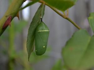 Crisálida verde de una mariposa monarca