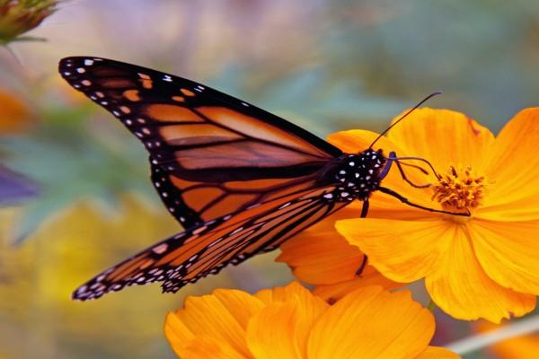 La trompa de una mariposa monarca libando en una flor naranja