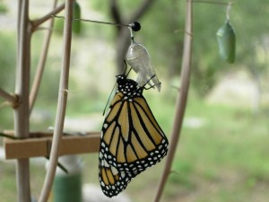 Mariposa monarca posada en la crisálida vacía