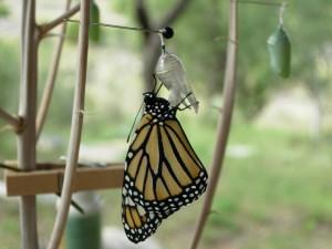 Postal: Mariposa monarca posada en la crisálida vacía