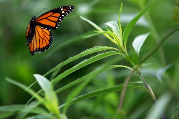 Mariposa monarca en vuelo
